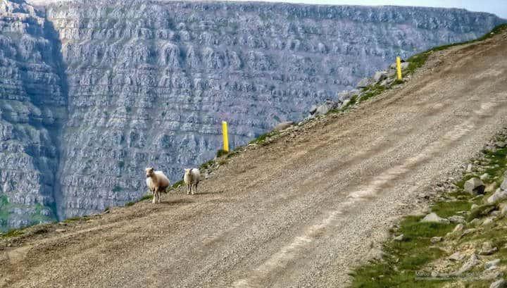 Schafe auf der Straße 612